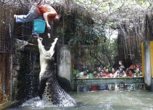 Crocodile feeder
